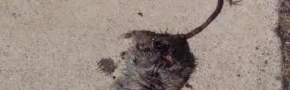 Dead Rat At LAX