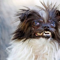 Worlds Ugliest Dog Contestants